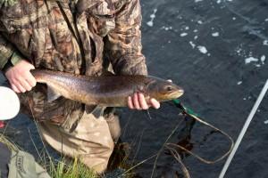 A coloured female or 'hen' salmon (Andreas Hertfurt)