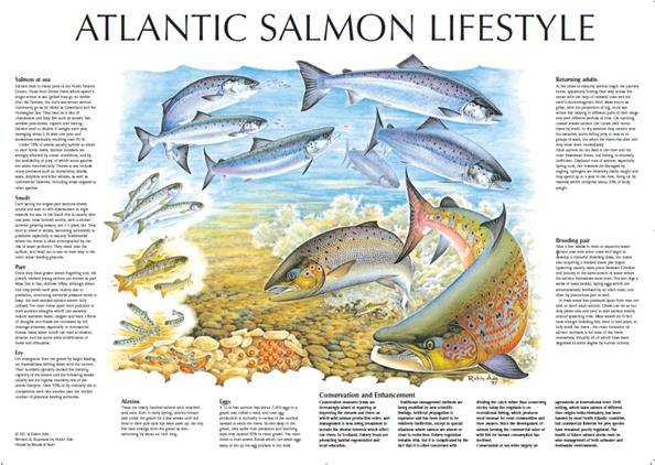 The Atlantic Salmon Lifecycle by the AST and Robin Ade