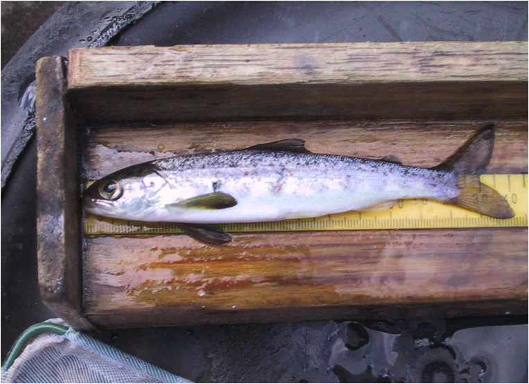 A typical salmon smolt (Keith Williams)