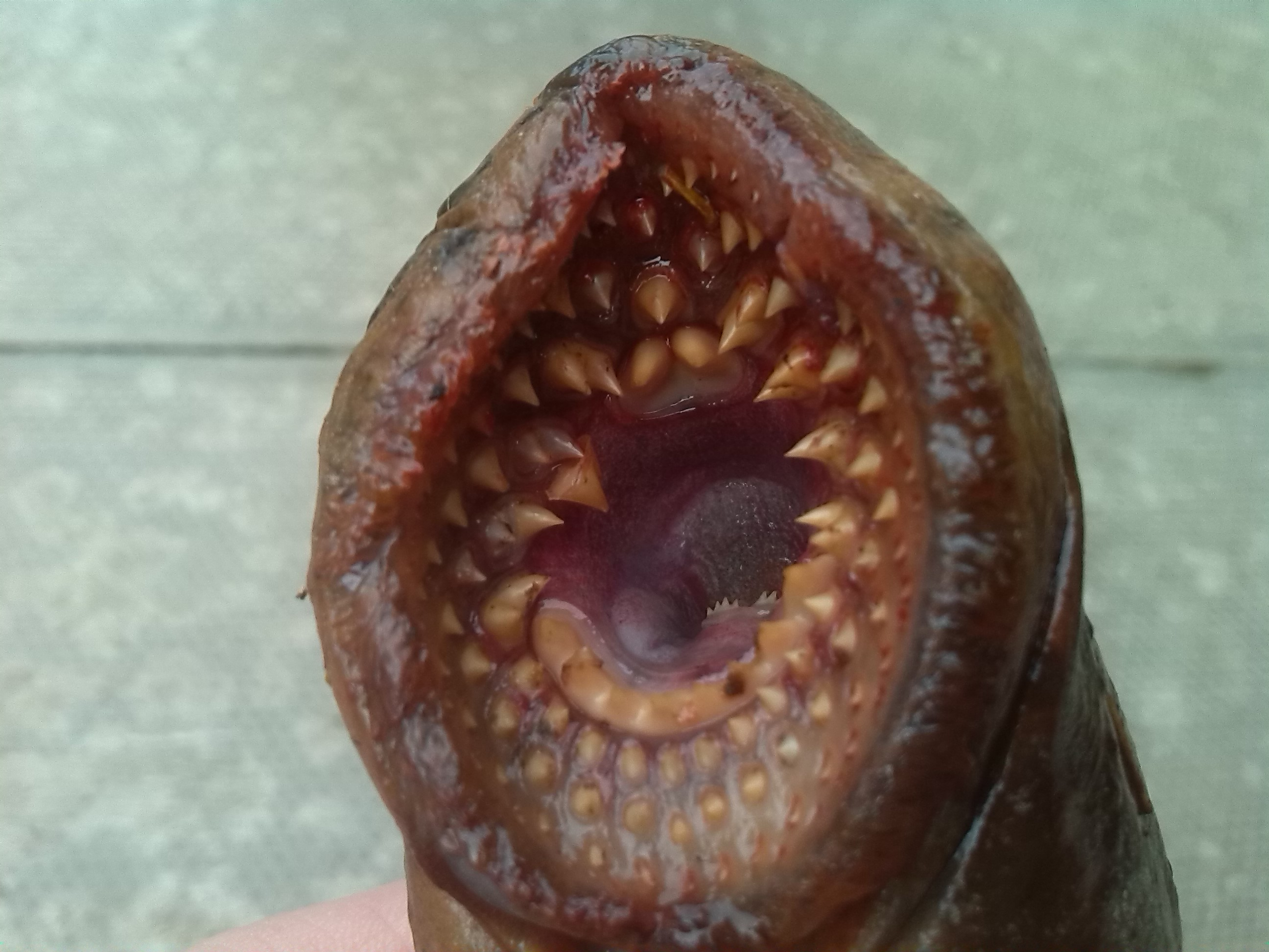Sea lamprey remains found in the river ness ness for Fishing eye syndrome